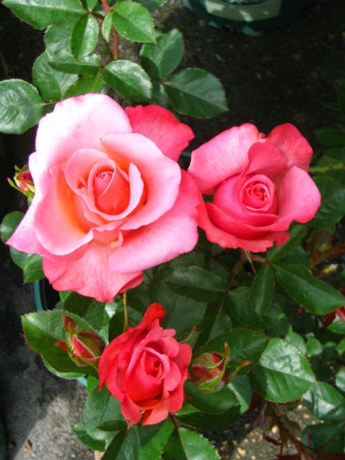 All About Women's Things: Spring Rose Care - The Easy Way