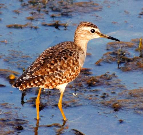 Indian birds - Photo of Wood sandpiper - Tringa glareola