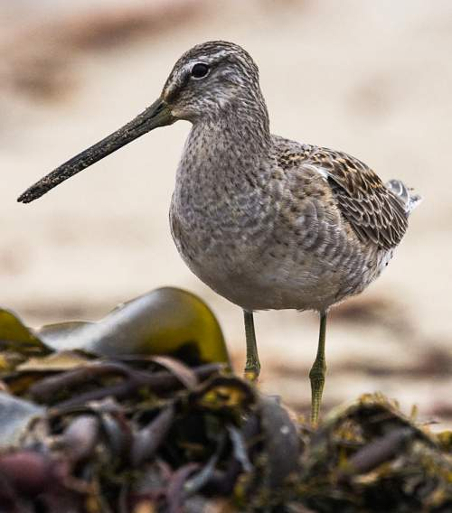Birds of India - Photo of Long-billed dowitcher - Limnodromus scolopaceus