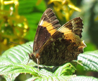 Pedaliodes triaria, Ochre-banded Satyr