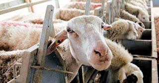 """""""Πρόβατα"""", """"μαντριά"""" και παγκοσμιοποίηση"""