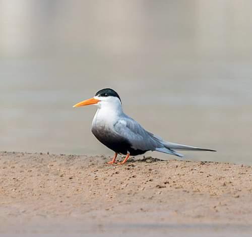 Birds of India - Photo of Black-bellied tern - Sterna acuticauda
