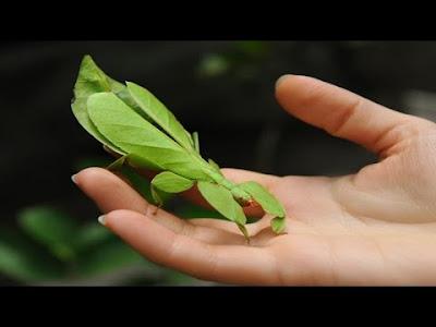 Yaprak Böceği, Phyllium Bioculatum, Phyllium, Filyum