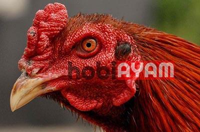 Mata Ayam Bagus