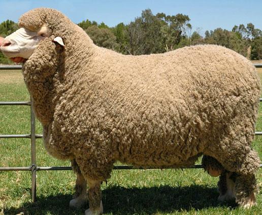 Berbagi Pengetahuan Jenis Jenis Domba Di Dunia