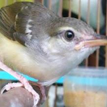 Makanan Racikan Untuk Burung Ciblek Agar Sehat Dan Rajin Berkicau