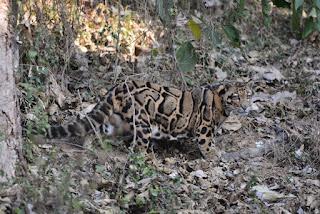 Macan Tutul Taiwan Muncul Kembali Setelah dikira Punah