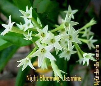 Night-Blooming Jasmine Flowers, raat ki raani flowers