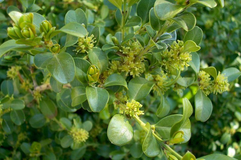 Piante e fiori bosso buxus un sempreverde dai molti usi for Arbusti sempreverdi