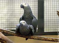 Papagaj Žako