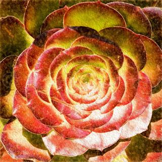 """Succulent """"Aeonium"""" #1"""