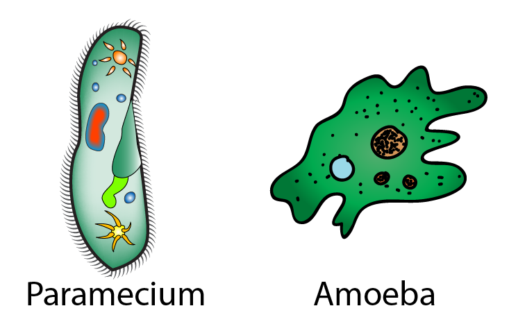 How Do Unicellular Organisms Get Food