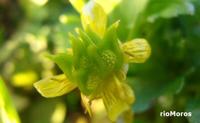 ABROJOS A CUATRO Ranunculus muricatus