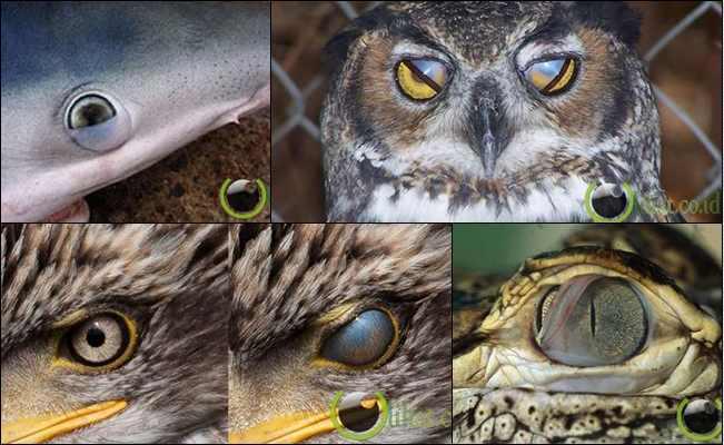 7 Jenis Binatang yang Mempunyai Tiga Kelopak Mata