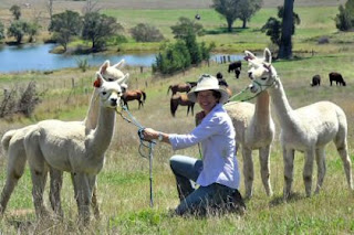 Alpacas grown farmed bred in Australia