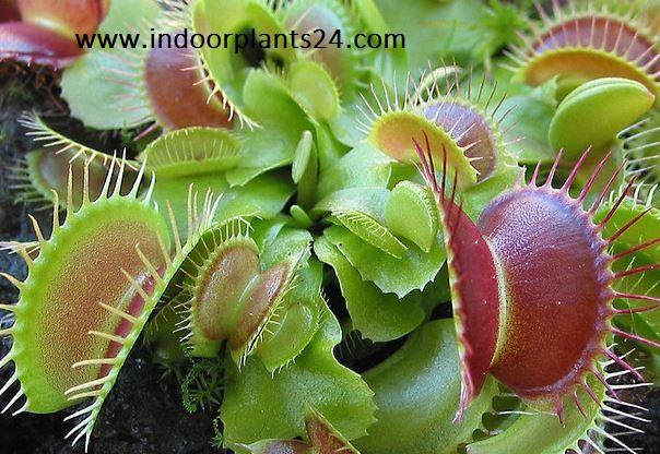 Dionaea Muscipula idoor plant image