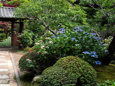 Gaku-ajisai (Hydrangea macrophylla f. normalis) flowers: Kaizo-ji