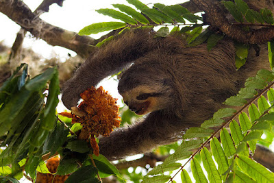 three-toed sloth Fernando Flores