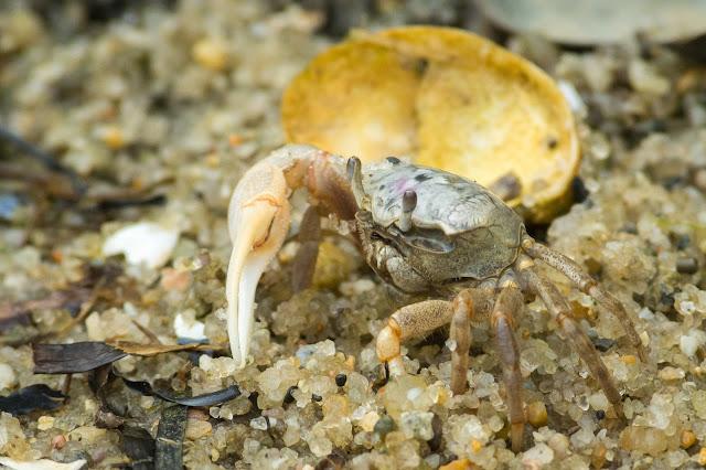 Atlantic Sand Fiddler Crab, Monomoy National Wildlife Refuge