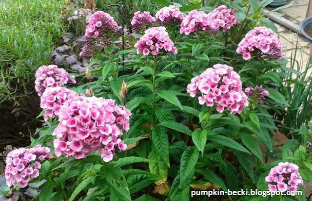 Phlox paniculata pink flowers dark centres