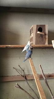 Cara Menjodohkan Lovebird Beda Warna