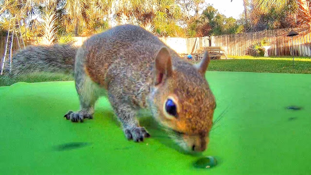 Squirrels Marking Territory - Squirrel Social Networking