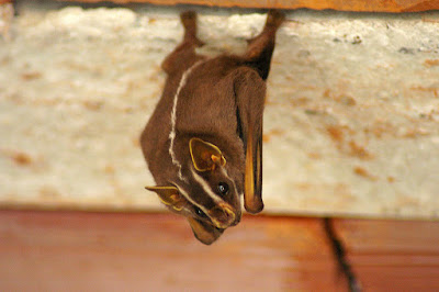 bat-flickr-Flickr-guilherme-jofili