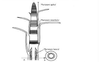 fungsi jaringan meristem,jaringan epidermis adalah,meristem lateral,meristem primer,jaringan permanen,meristem apeks,jelaskan perbedaan antara sklerenkim dan kolenkim,sifat jaringan meristem,