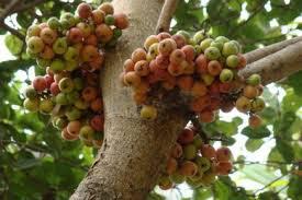 Hikayat Batu Dan Pohon Ara