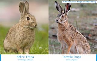 perbedaan mendasar terwelu dengan kelinci