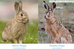 perbedaan kelinci dengan terwelu