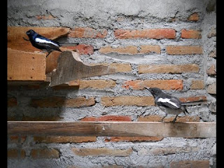 Cara Ternak Burung Kacer dan Prospek Usahanya
