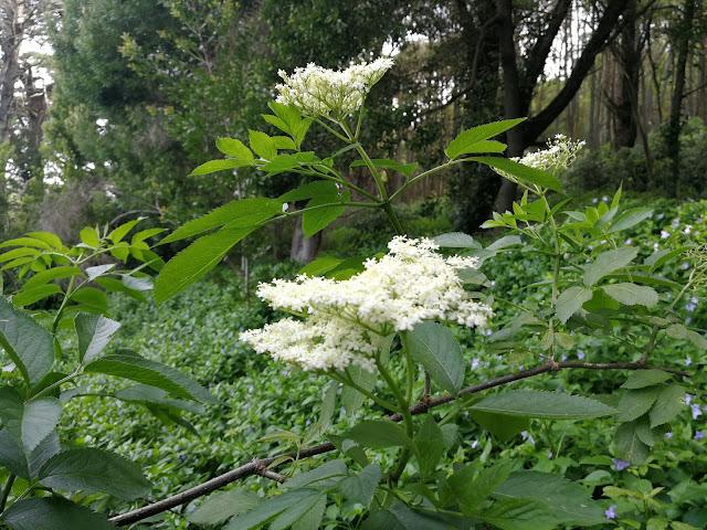 fruta-da-epoca-flores-sabugueiro-armazem-ideias-ilimitada