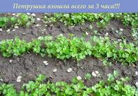 петрушка,как вырастить петрушку,parsley,how to grow parsley,Petersilie,wie man Petersilie