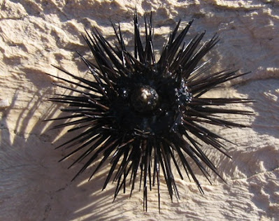 What Do We Know About Sea-Urchins?