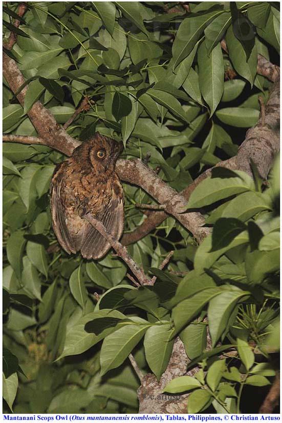 Christian Artuso: Birds, Wildlife: Mantanani Scops Owl ... - photo#16