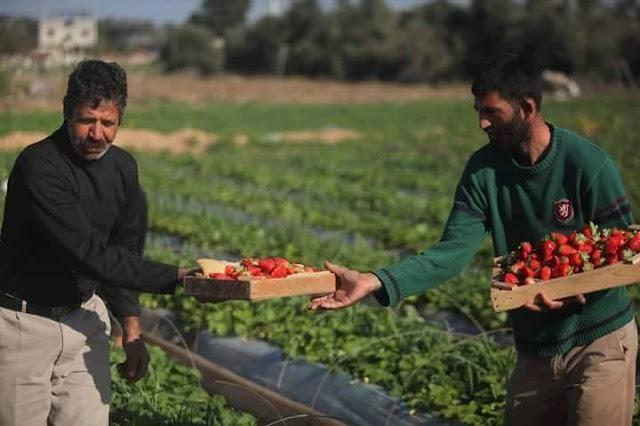 Palestina Tetap Menjadi Tanah Yang Subur Meski Terus Dibom Oleh Israel, Ini Buktinya