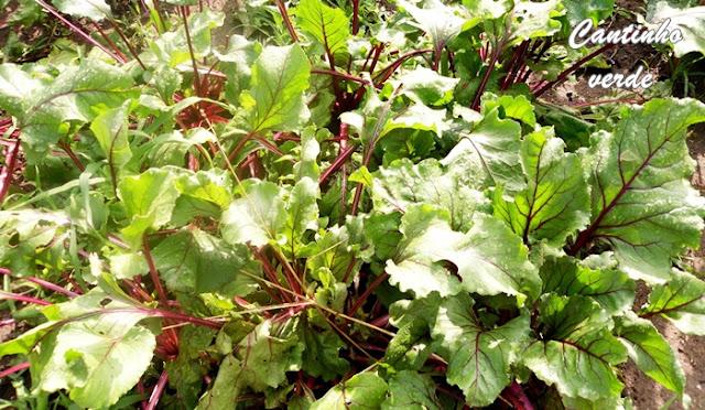 Sementeira e Cultivo da beterraba vermelha
