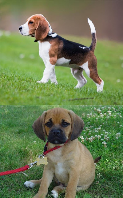 Đừng bao giờ lai Pug với giống nào khác