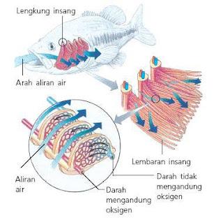 Fish Respiratory Organs