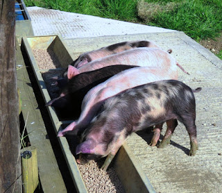 Image: Piglets on the HenSafe Smallholding