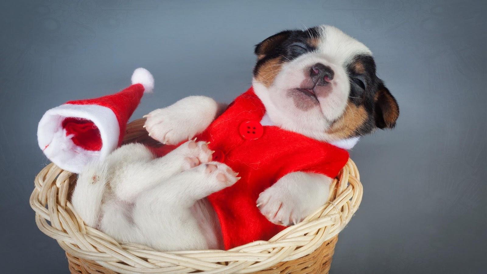 Jack Russell Terrier Cute Puppies Wallpaper Fondo De Pantalla Perros 1920x1080 Fondos De Pantalla Hd