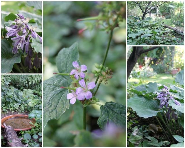 Schattenbeet mit Hosta Grand Slam und Geranium nodosum