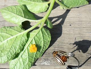 Колорадский жук - очень опасный вредитель картофеля и других культур