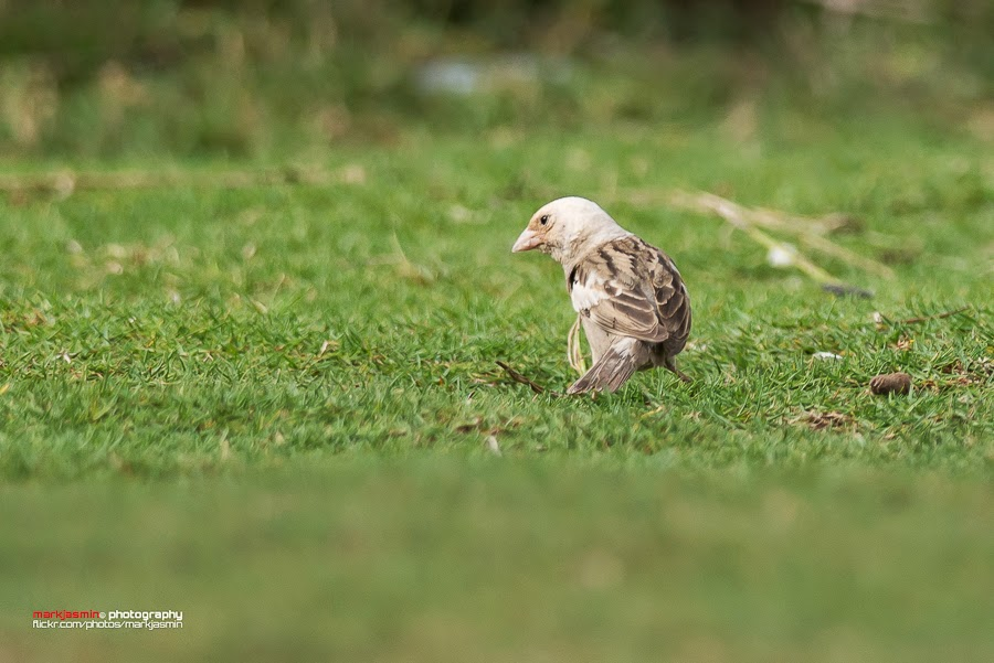 partially leucistic House Sparrow