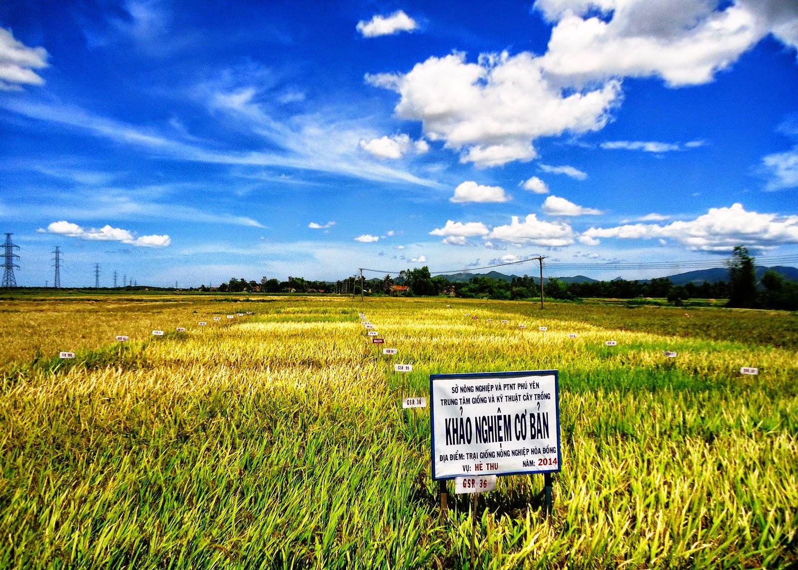 Hình Ảnh Một Số Giống Lúa Cao Sản Xanh (Green Super Rice - Gsr) Tiêu Biểu  Trong Các Khảo Nghiệm Cơ Bản Tại Trại Giống Lúa Hòa Đồng, ...