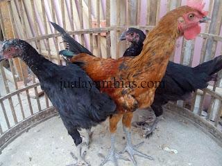 Ayam Pelung Usia 4 Bulan