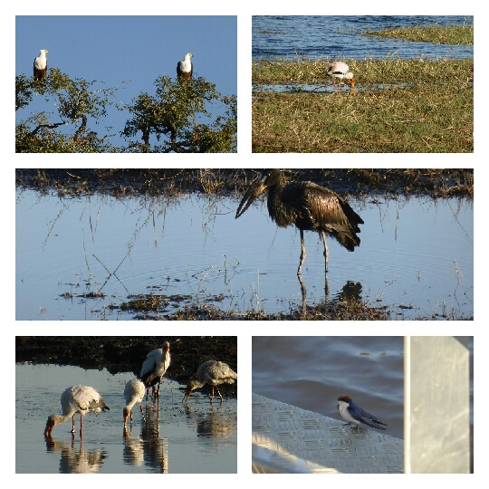 Águila pescadora, cigüeña de pico amarillo, marabú y golondrina colilarga