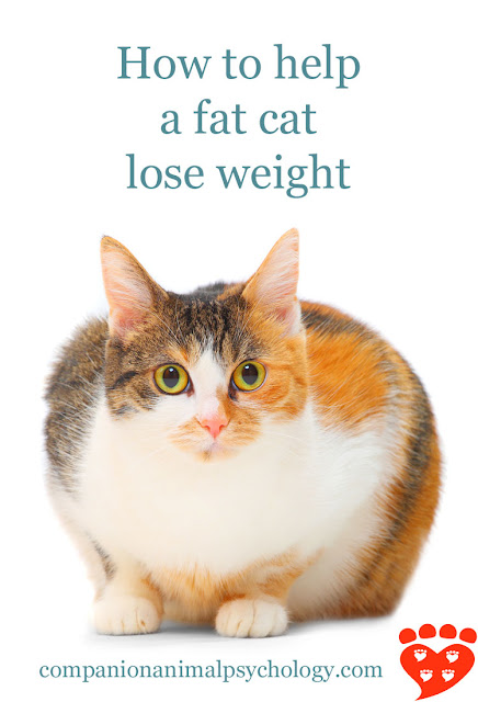 What to do if your cat is overweight or obese. Photo shows an obese cat looking at the camera