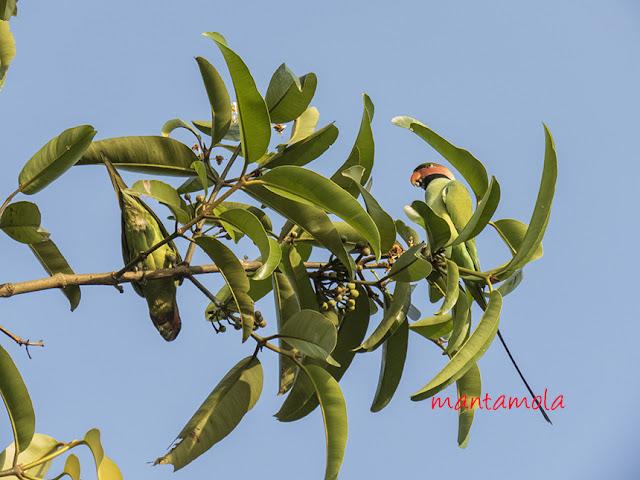 Long-Tailed Parakeet (Psittacula longicauda)